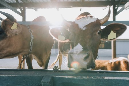 domestic beautiful cows standing in stall at farm with sunlight on background