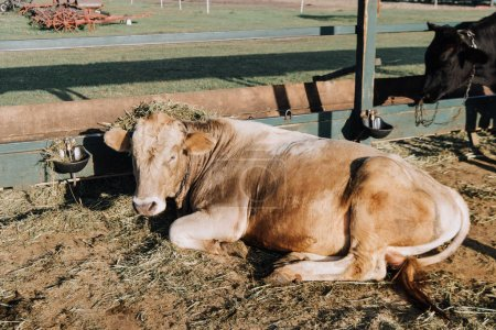brown domestic cow with hay on head laying on ground in barn at farm