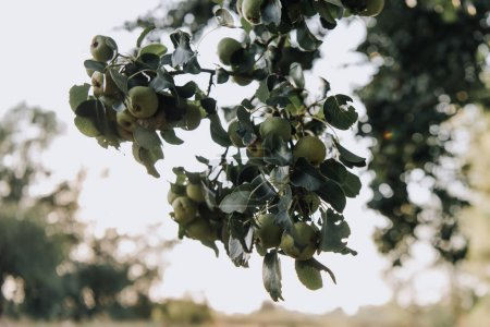 selective focus of branches with green apples on blurred background
