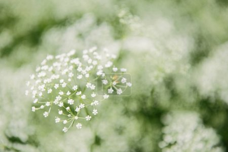 close-up shot of blossoming white wildflowers