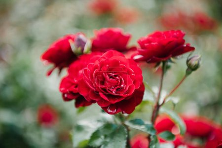 close-up shot of fresh blossoming red roses