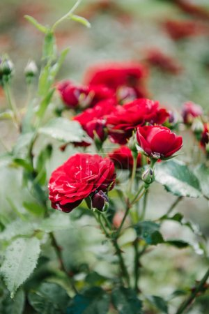 close-up shot of blossoming red roses