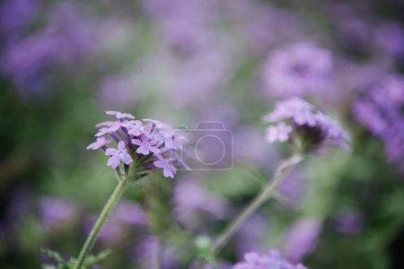 Foto de Primer tiro de flores hermoso campo morado - Imagen libre de derechos