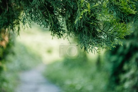 close-up shot of spruce branches with blurred natural background