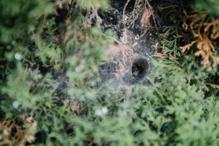 close-up shot of spider nest in spruce branches