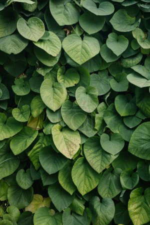 Photo for Close-up shot of green vine leaves covering wall - Royalty Free Image