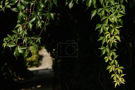 close-up shot of hanging wild vines on black background