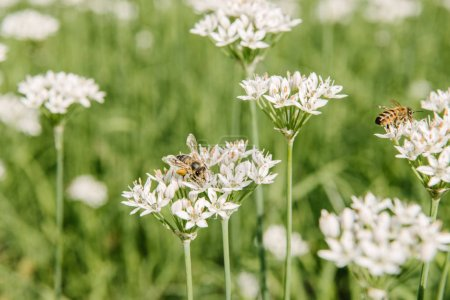 close-up shot of bees sitting on white field flowers
