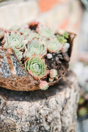close-up shot of beautiful sempervivum plants in rusty bowl as pot