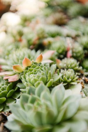 close-up shot of beautiful sempervivum buds