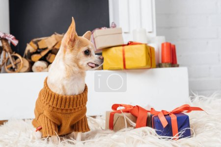 adorable chihuahua dog in sweater sitting on floor with christmas presents near by