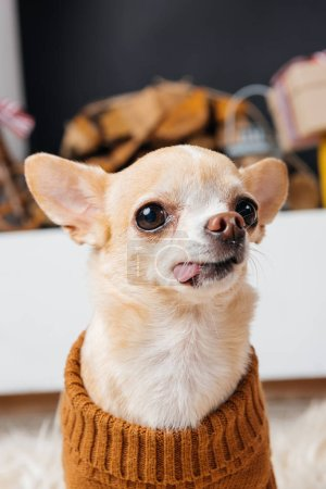 close up view of little chihuahua dog sticking tongue out in room
