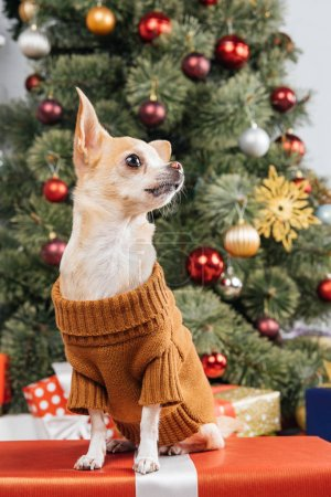 close up view of little chihuahua dog in sweater on christmas present at home