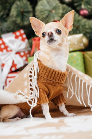 close up view of adorable little chihuahua dog in blanket with christmas presents on background
