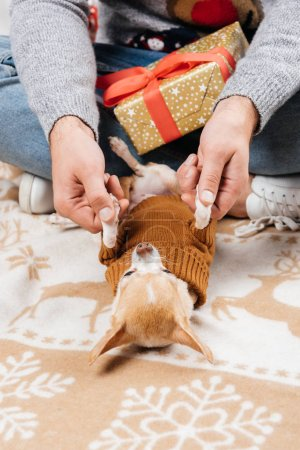 cropped shot of man with christmas present playing with little chihuahua dog at home