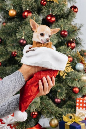 partial view of man holding chihuahua dog in santa claus hat against christmas tree on background