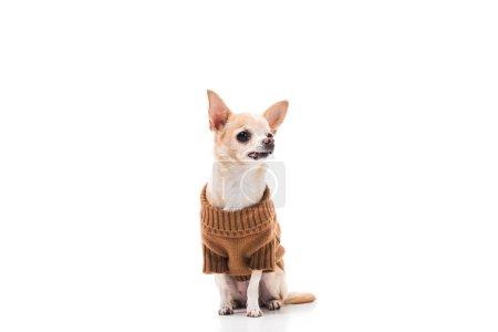 Photo pour Chien chihuahua mignon en chandail brun isolé sur blanc - image libre de droit