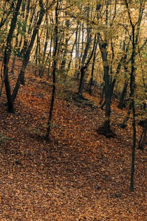 Fallen yellow leaves near trees in autumn forest