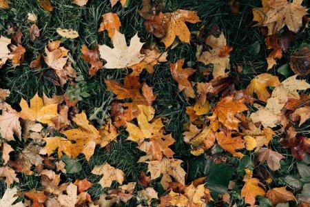Photo pour Feuilles d'or sur l'herbe verte - image libre de droit