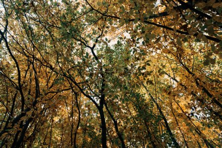 Bottom view of autumnal trees with twigs in forest