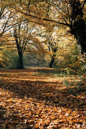 Sunshine on fallen autumn leaves in park