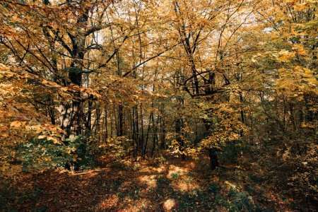 Photo for Sunshine in yellow autumn forest with trees - Royalty Free Image