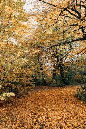 Photo pour Feuilles dorées tombées près des arbres dans la forêt - image libre de droit