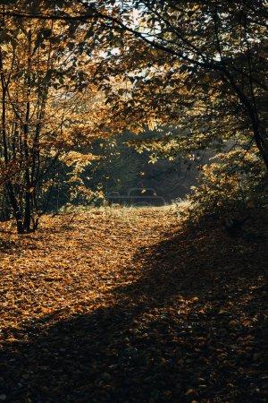 Photo pour Lumière du soleil sur les feuilles jaunes tombées en forêt d'automne - image libre de droit
