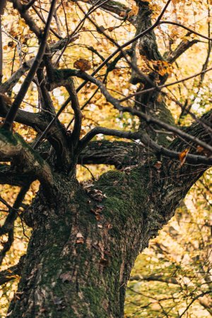Selective focus of old tree with yellow leaves