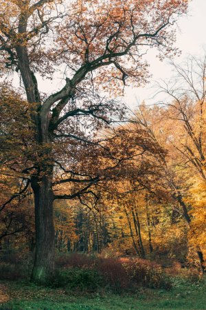 Old tree with autumn leaves on branches in peaceful forest