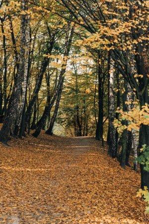 Photo pour Voie avec les feuilles tombées dans la paisible forêt d'automne - image libre de droit