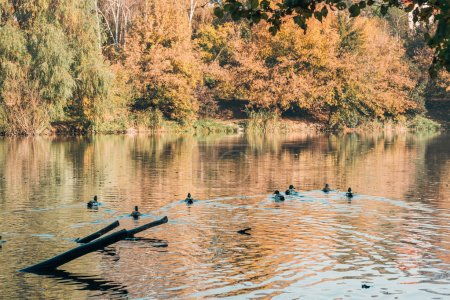 Ducks swimming in lake near peaceful autumn forest