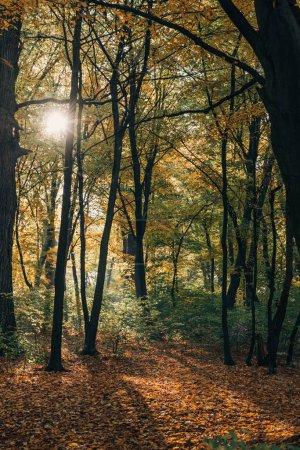 Photo pour Soleil en forêt d'automne jaune aux feuilles tombées - image libre de droit