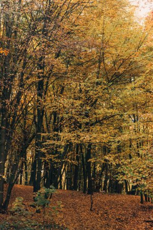 Photo for Yellow leaves on tree branches in forrest - Royalty Free Image