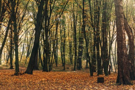 Yellow fallen leaves in autumn forest with trees