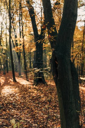 Selective focus of tree trunks in autumn forest