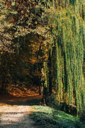 Pathway with sunlight near weeping willow tree in ...