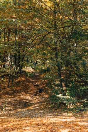 Autumn forest with fallen leaves and green trees