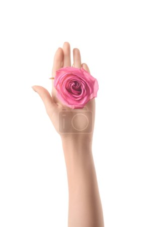 cropped view of woman holding pink rose flower in palm isolated on white