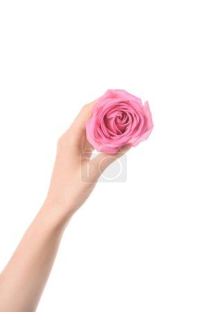 Photo pour Vue recadrée de femme tenant une rose rose fleur blanche en main isolé sur - image libre de droit