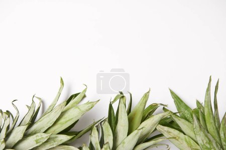 fresth green pineapple leaves on white background