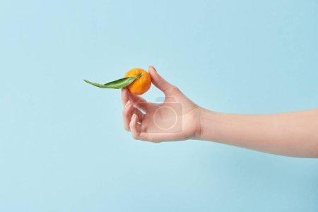 Photo pour Vue recadrée de femme tenant mandarine vert feuille bleu en main isolé sur - image libre de droit