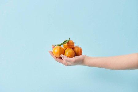 Photo pour Vue recadrée de femme tenant mandarines biologiques bleu en main isolé sur - image libre de droit