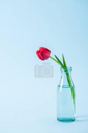 Photo pour Tulipe rouge dans un vase de verre transparent sur fond bleu - image libre de droit