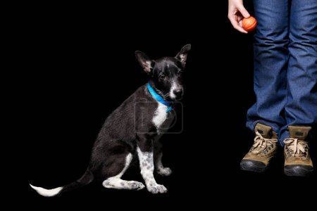 Photo for Cropped view of woman standing with orange ball near mongrel dog in blue collar isolated on black - Royalty Free Image