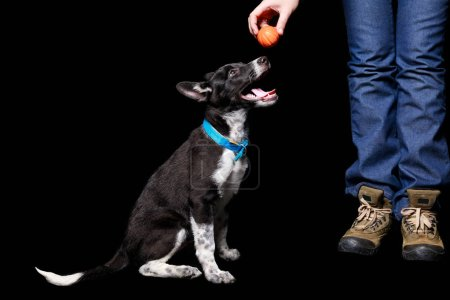 Photo for Cropped view of woman holding orange ball over mongrel dog in blue collar with open mouth isolated on black - Royalty Free Image