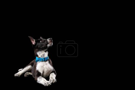 Photo for Mongrel dark dog with white paws in collar isolated on black - Royalty Free Image