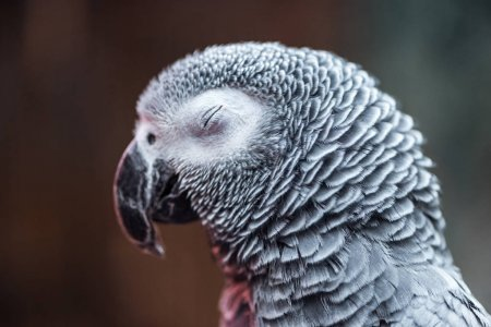 close up view of vivid grey exotic fluffy parrot with closed eye