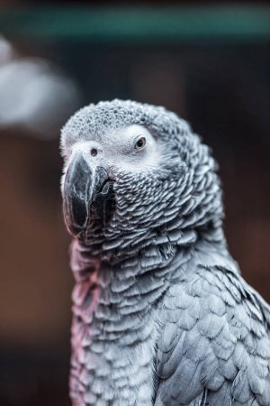 close up view of vivid grey fluffy parrot with big beak