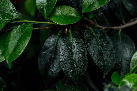 Photo pour Close up view of wet green natural leaves on tree branch - image libre de droit